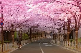japanse-bloesem